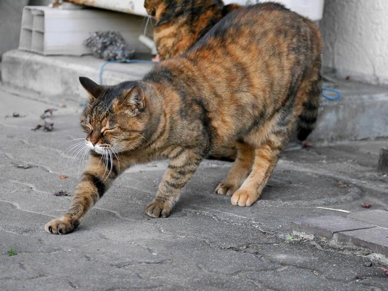 ゆっくりと前伸びをするサビ柄猫1