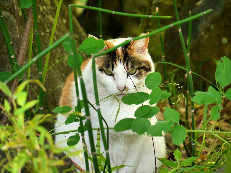 葉の向こうでアクビをする三毛猫1