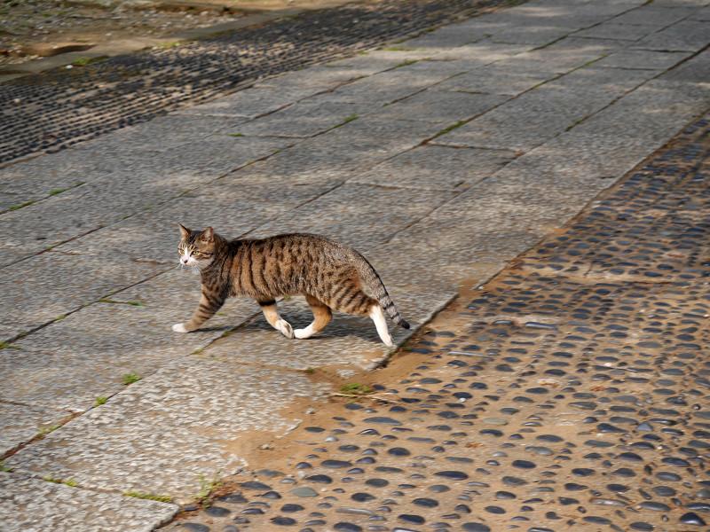参道を急ぎ歩くキジ白猫1