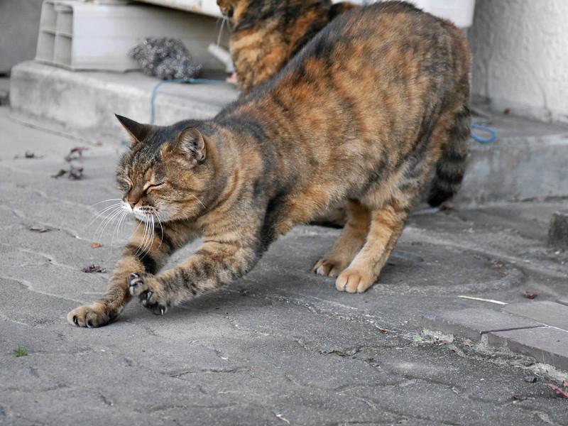 ゆっくりと前伸びをするサビ柄猫2