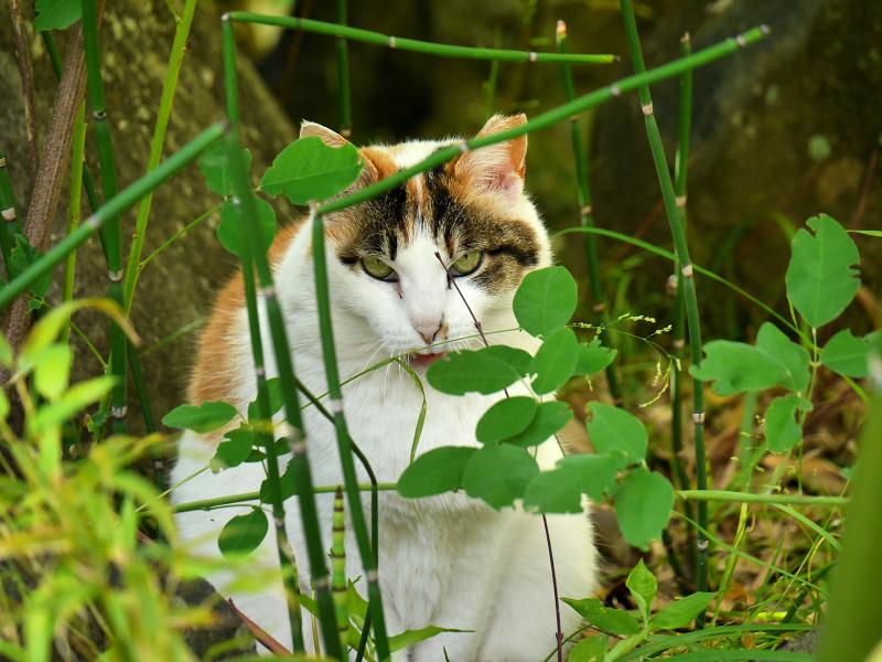 葉の向こうでアクビをする三毛猫2