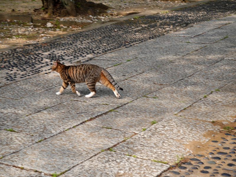 参道を急ぎ歩くキジ白猫2