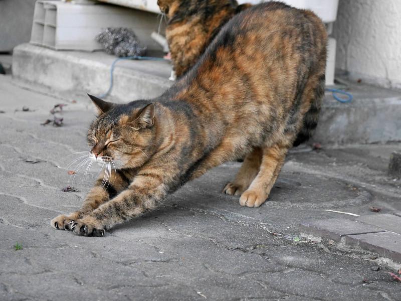 ゆっくりと前伸びをするサビ柄猫3