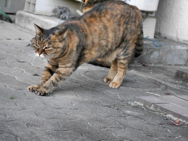 ゆっくりと前伸びをするサビ柄猫4