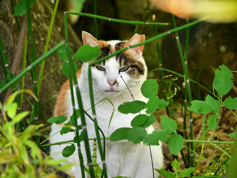 葉の向こうでアクビをする三毛猫4