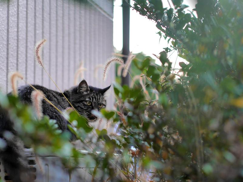 室外機と草とキジ白猫1