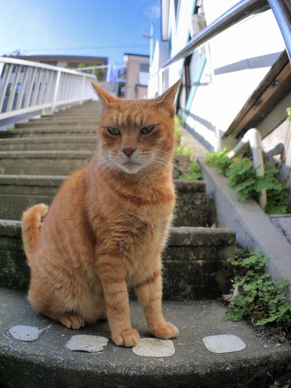 目の前で欠伸をする茶トラ猫1