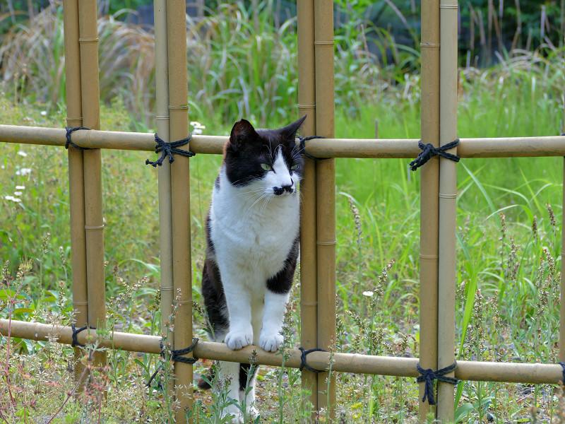 竹の柵と黒白猫1