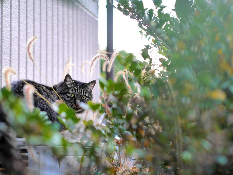 室外機と草とキジ白猫2