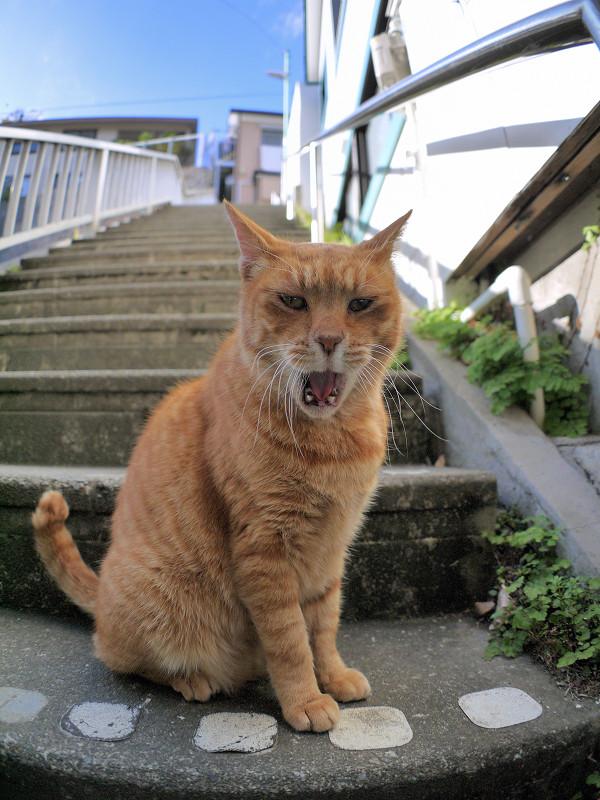 目の前で欠伸をする茶トラ猫2
