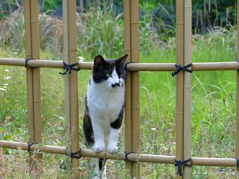 竹の柵と黒白猫2