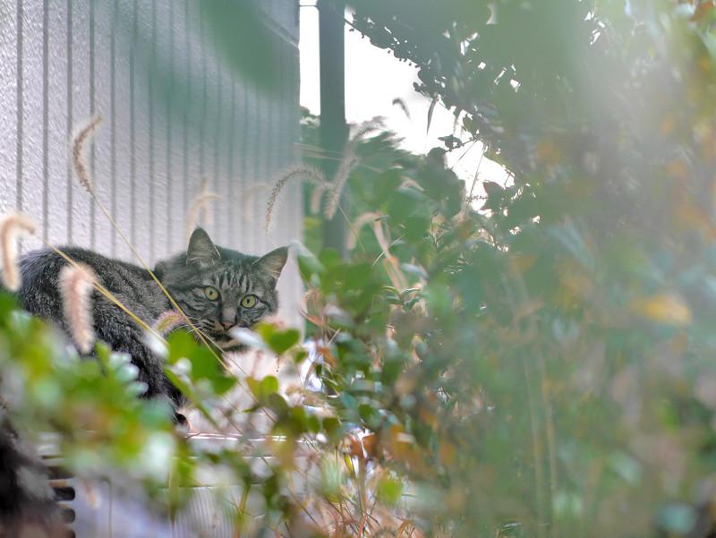 室外機と草とキジ白猫3