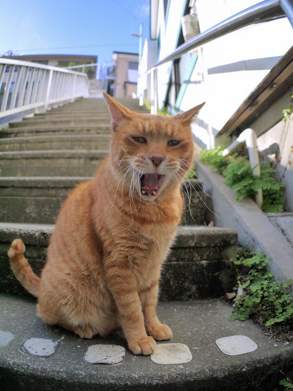 目の前で欠伸をする茶トラ猫3