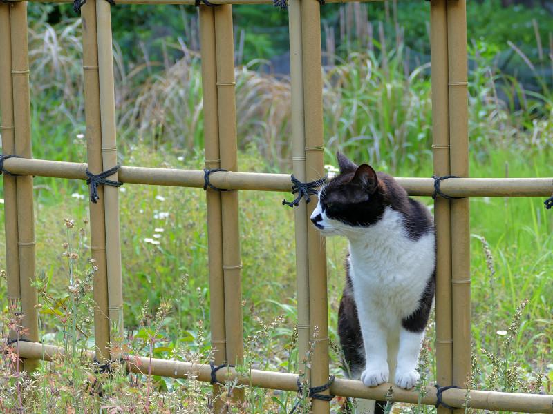 竹の柵と黒白猫4