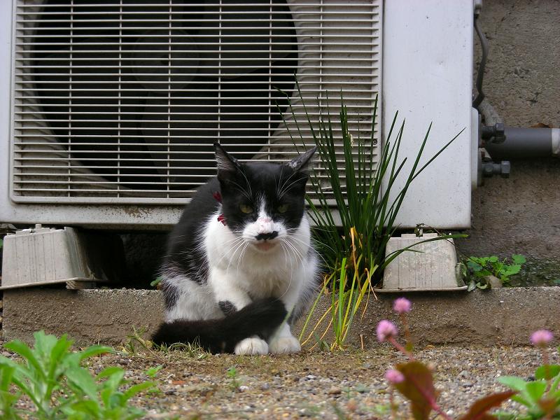尻尾がクルンとなってる黒白猫1