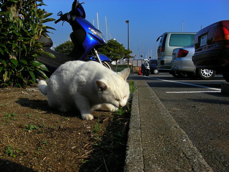 草を食べる白猫
