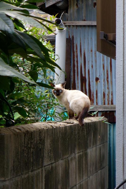 ブロック塀から見ているシャム猫1