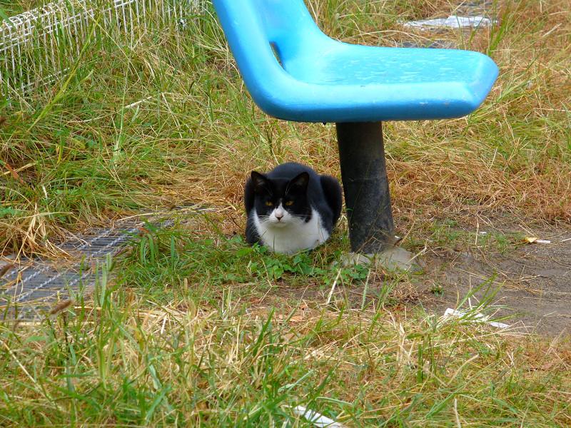 青い椅子と黒白猫1