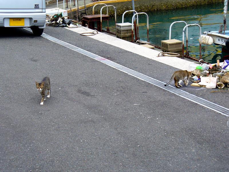漁港入口のキジ白猫1