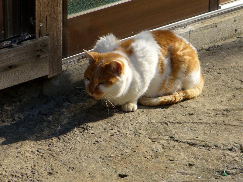 低い姿勢で鳴いた茶白猫1
