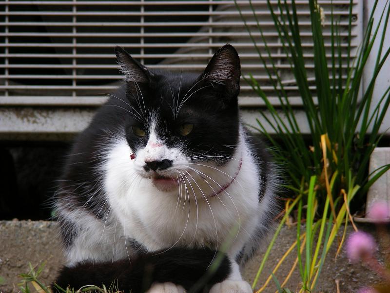 尻尾がクルンとなってる黒白猫2
