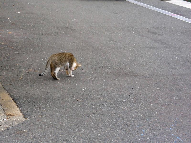 漁港入口のキジ白猫2