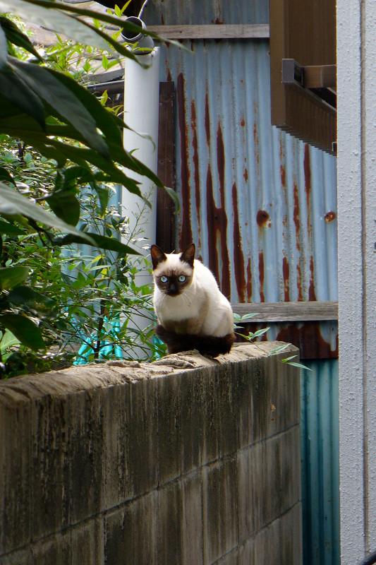 ブロック塀から見ているシャム猫2