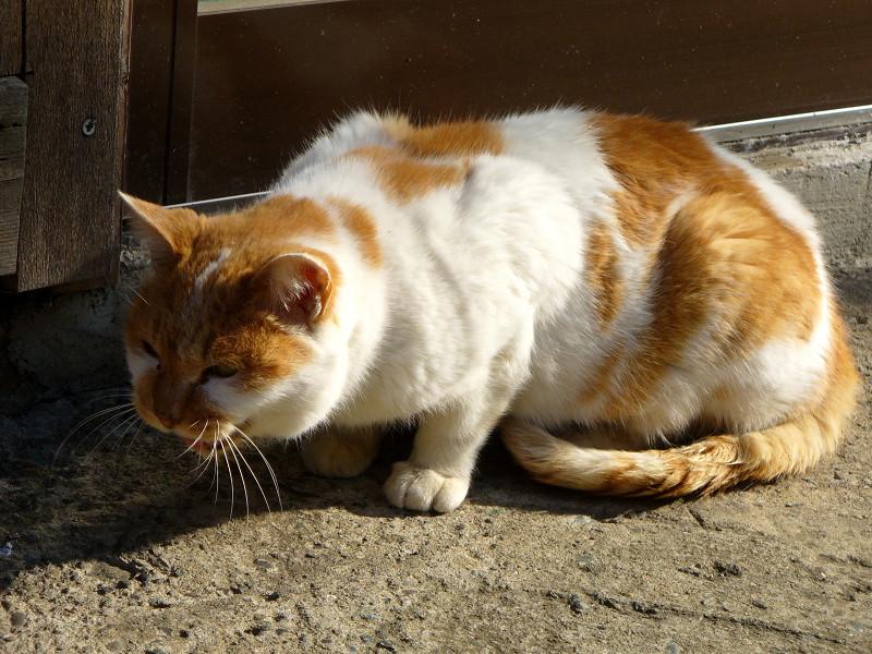 低い姿勢で鳴いた茶白猫2