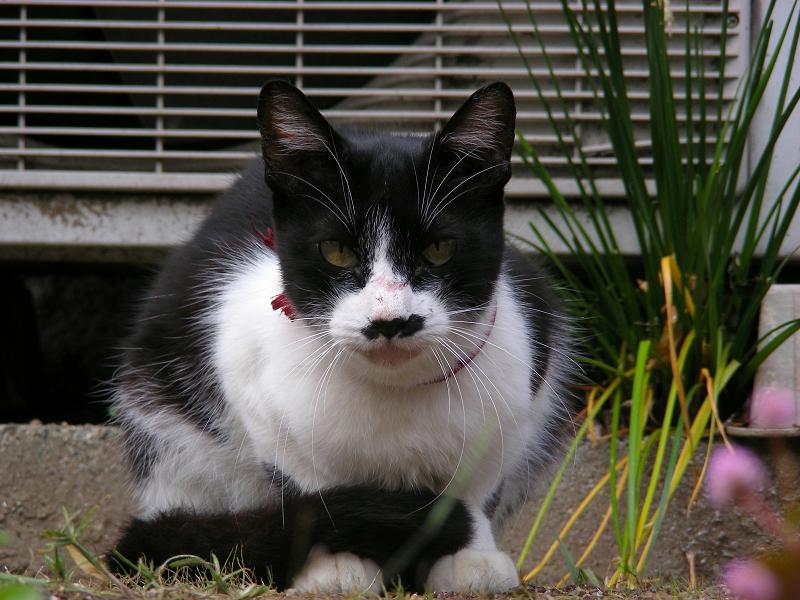 尻尾がクルンとなってる黒白猫3