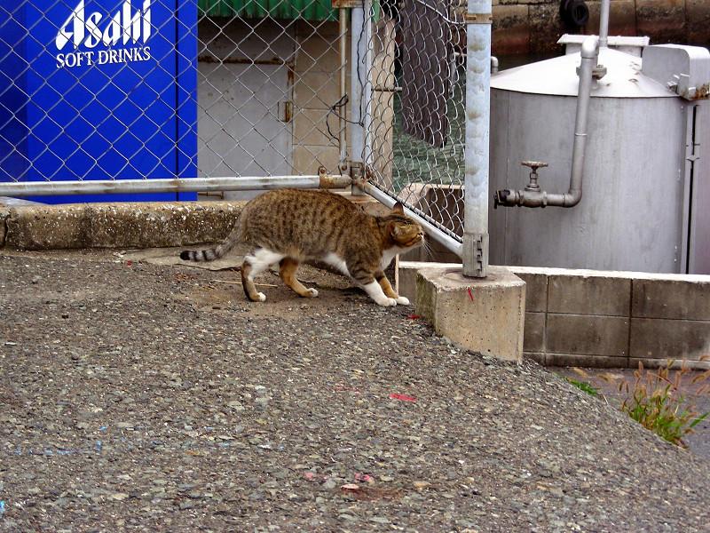 漁港入口のキジ白猫3