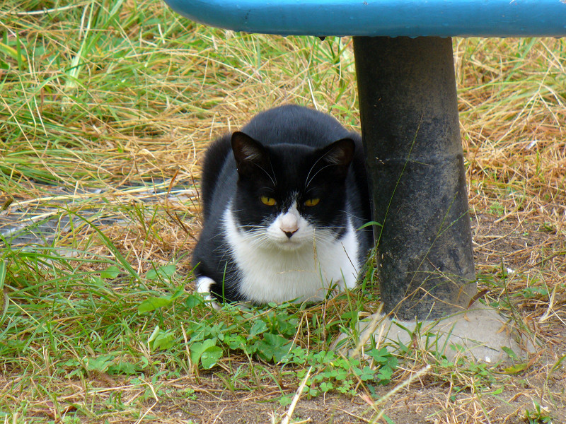 青い椅子と黒白猫3