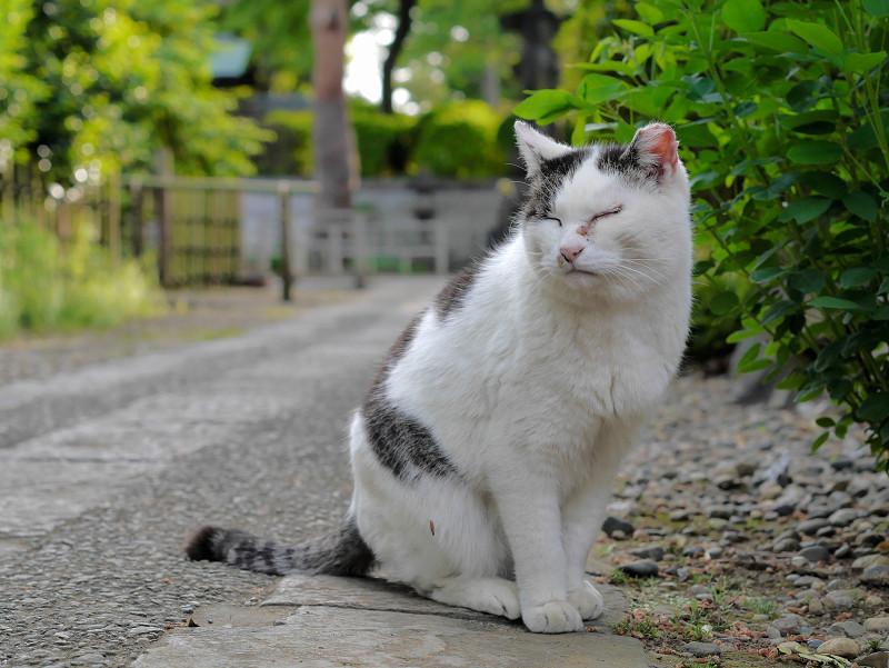 参道の白キジ猫