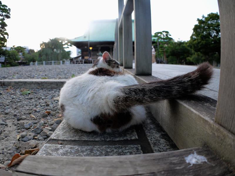 尻尾を振る白キジ猫1