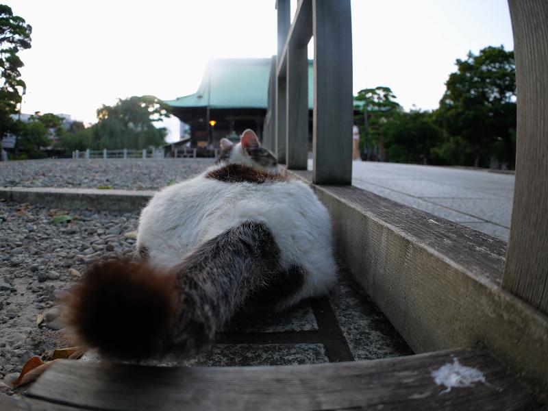 尻尾を振る白キジ猫2