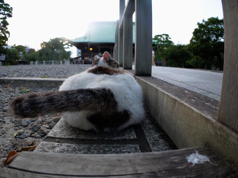 尻尾を振る白キジ猫3