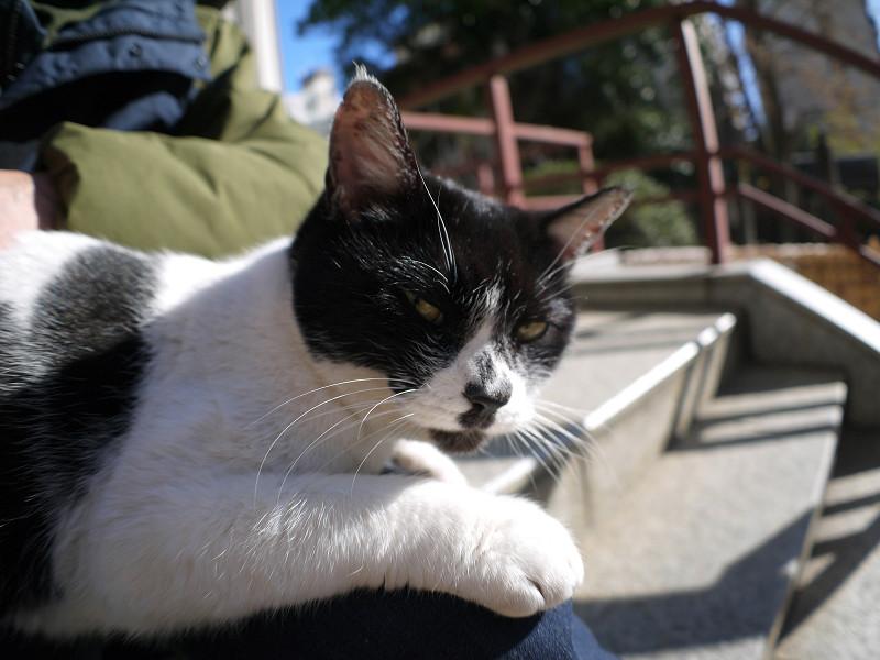 膝で寛ぐ白黒猫1