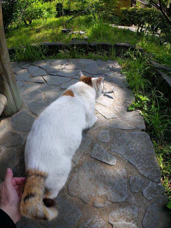 腰を触られる白三毛猫1