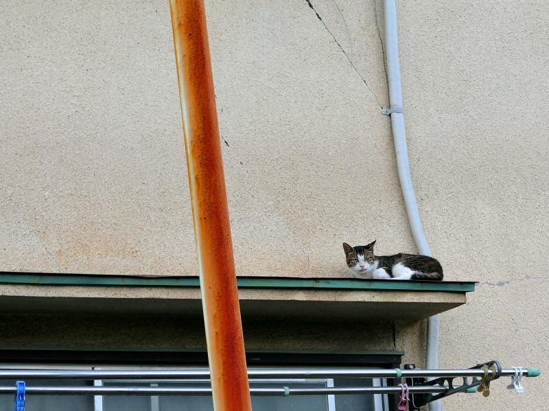 ひさしの上のキジ白猫1