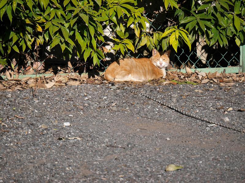 駐車場の隅の茶トラ猫