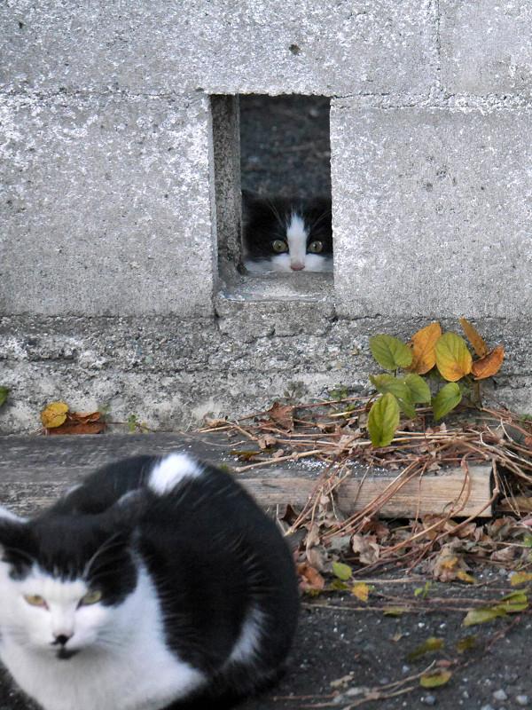 壁の隙間から見ている黒白猫