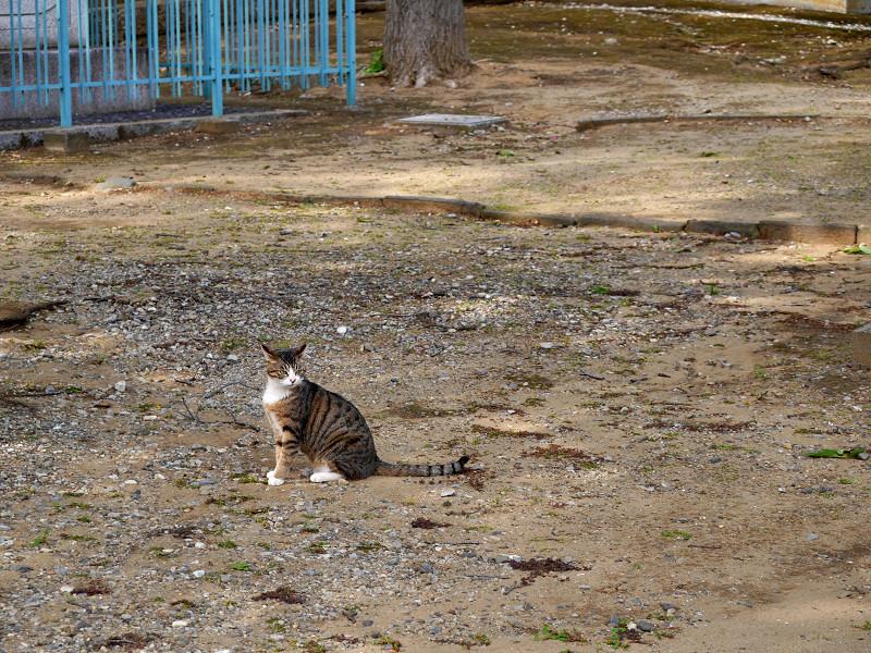境内で立ち止まるキジ白猫1