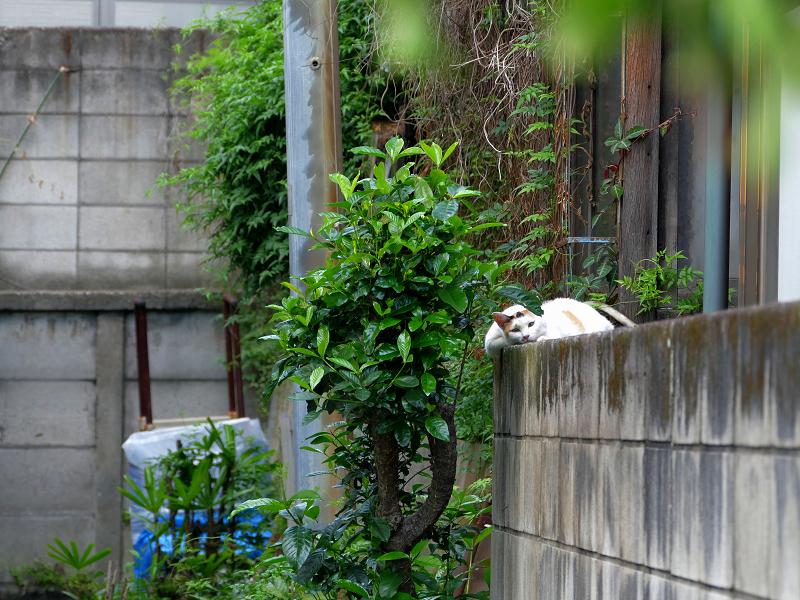 ブロック塀で寝ている白系の猫2