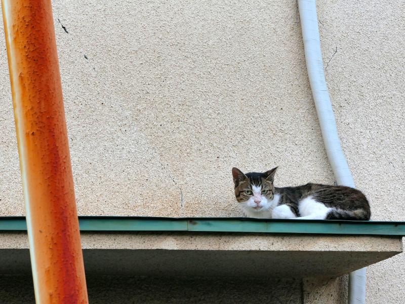 ひさしの上のキジ白猫2
