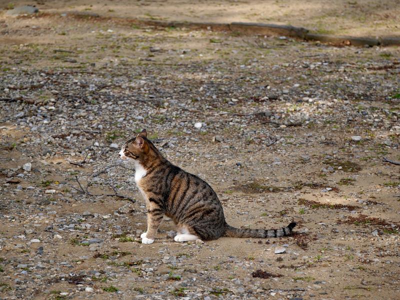 境内で立ち止まるキジ白猫2