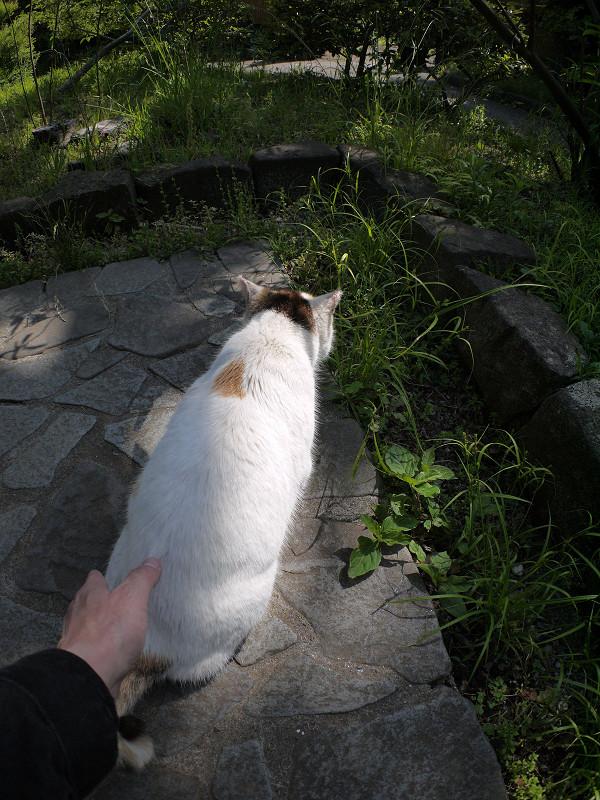 腰を触られる白三毛猫3
