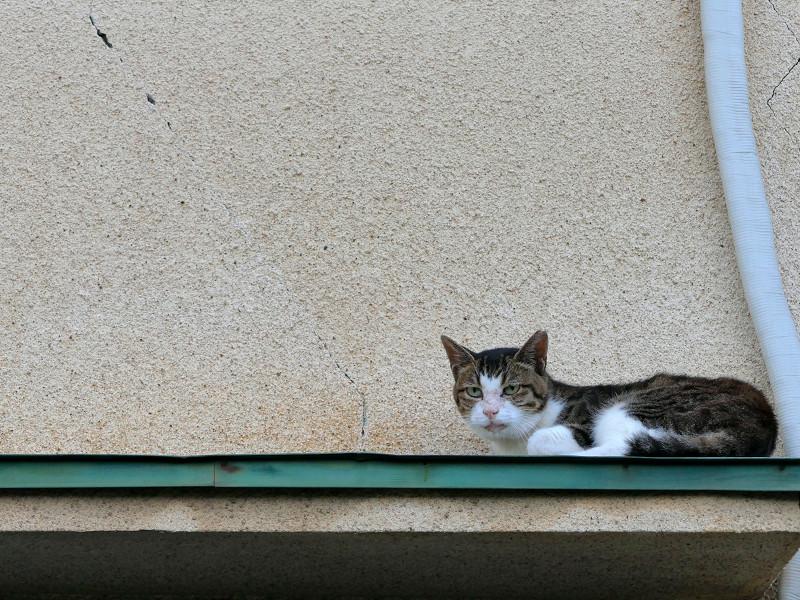 ひさしの上のキジ白猫3