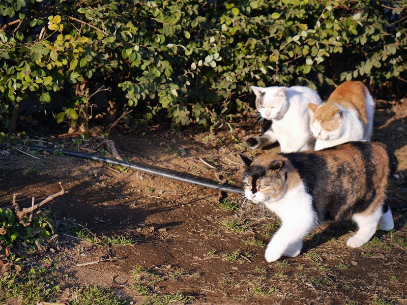 再び出て行く三毛猫3