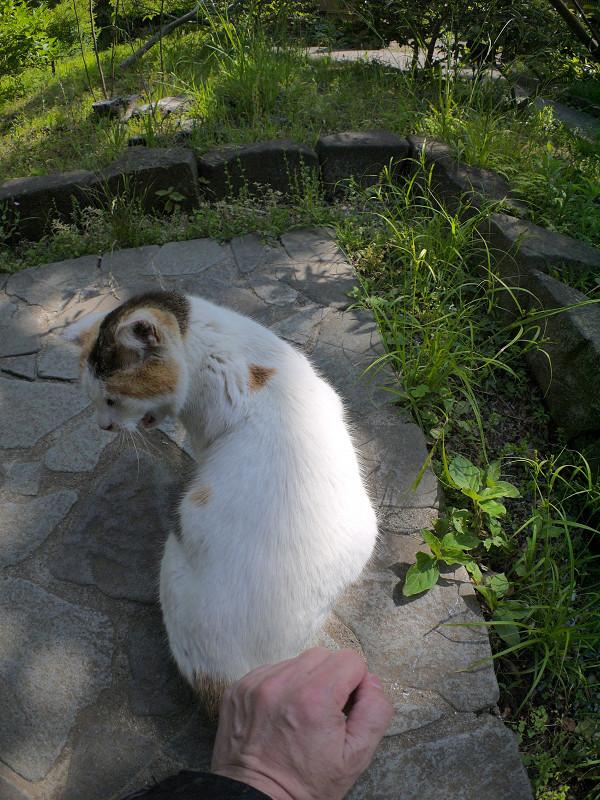 腰を触られる白三毛猫4