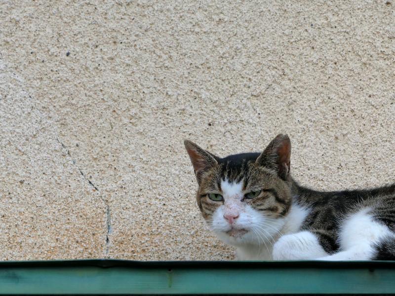 ひさしの上のキジ白猫4
