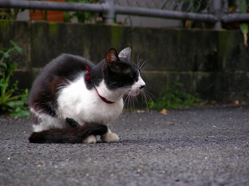 座って鳴く黒白猫1
